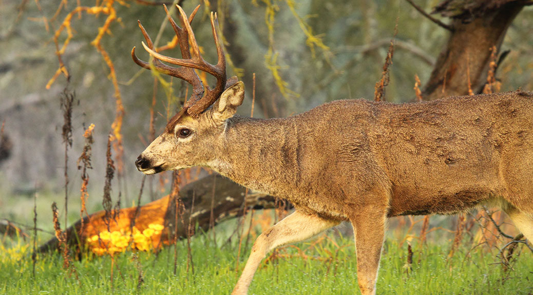 how-to-call-deer-blacktail calling tips
